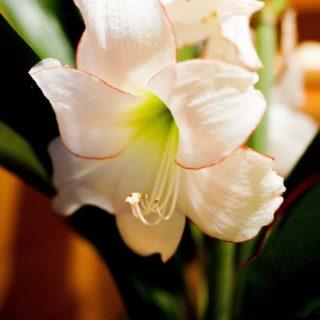 ご自宅のベランダで咲いたアマリリスがお供えになりました。毎年立派なお花が2回咲くそうです。