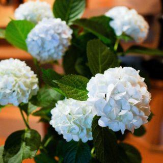 境内に咲いたアジサイ。毎年白い花を咲かせて楽しませてくれます。今年は株元に漆喰の混じった水をあげたせいか、ほんのり青みがかっています。